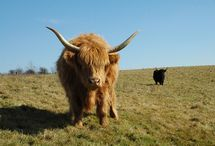 Vaches Highland cattle